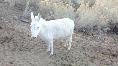 Albino Donkey in Alamogordo